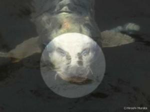 下松市切戸川の人面魚2